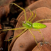 Lesser Green Lynx Spider - Photo (c) Alice Abela, all rights reserved