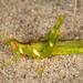 Bootettix argentatus - Photo (c) Alice Abela, todos los derechos reservados