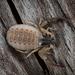 Garypus californicus - Photo (c) Alice Abela, todos os direitos reservados
