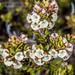 Epacris alpina - Photo (c) Danilo Hegg, todos los derechos reservados