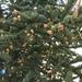 Picea glauca - Photo (c) drbowser, todos os direitos reservados