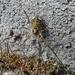 Paroligolophus agrestis - Photo (c) Miranda Engelshoven, all rights reserved
