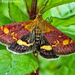 Pyrausta aurata - Photo (c) Miranda Engelshoven, todos los derechos reservados