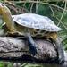 Mauremys sinensis - Photo (c) dickypa, todos los derechos reservados