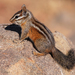 Merriam's Chipmunk - Photo (c) Robyn Waayers, all rights reserved