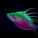 Blue Flasher Wrasse - Photo (c) Tim Cameron, all rights reserved