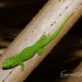 Madagascar Giant Day Gecko - Photo (c) Emmanuel Van Heygen, all rights reserved