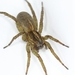 Rustic Wolf Spider - Photo (c) Lutautami, all rights reserved