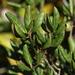 Quercus inopina - Photo (c) Jay L. Keller, kaikki oikeudet pidätetään