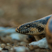 Javelin Sand Boa - Photo (c) Halvard Aas Midtun, all rights reserved