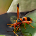 Large Australasian Mason Wasps - Photo (c) Andrew Rock, all rights reserved