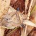 Dichelops melacanthus - Photo (c) Vinícius Souza, todos los derechos reservados