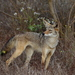 Coyote - Photo (c) Don McCullough, some rights reserved (CC BY-NC)