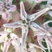 Showy Milkweed - Photo (c) Austin B., all rights reserved