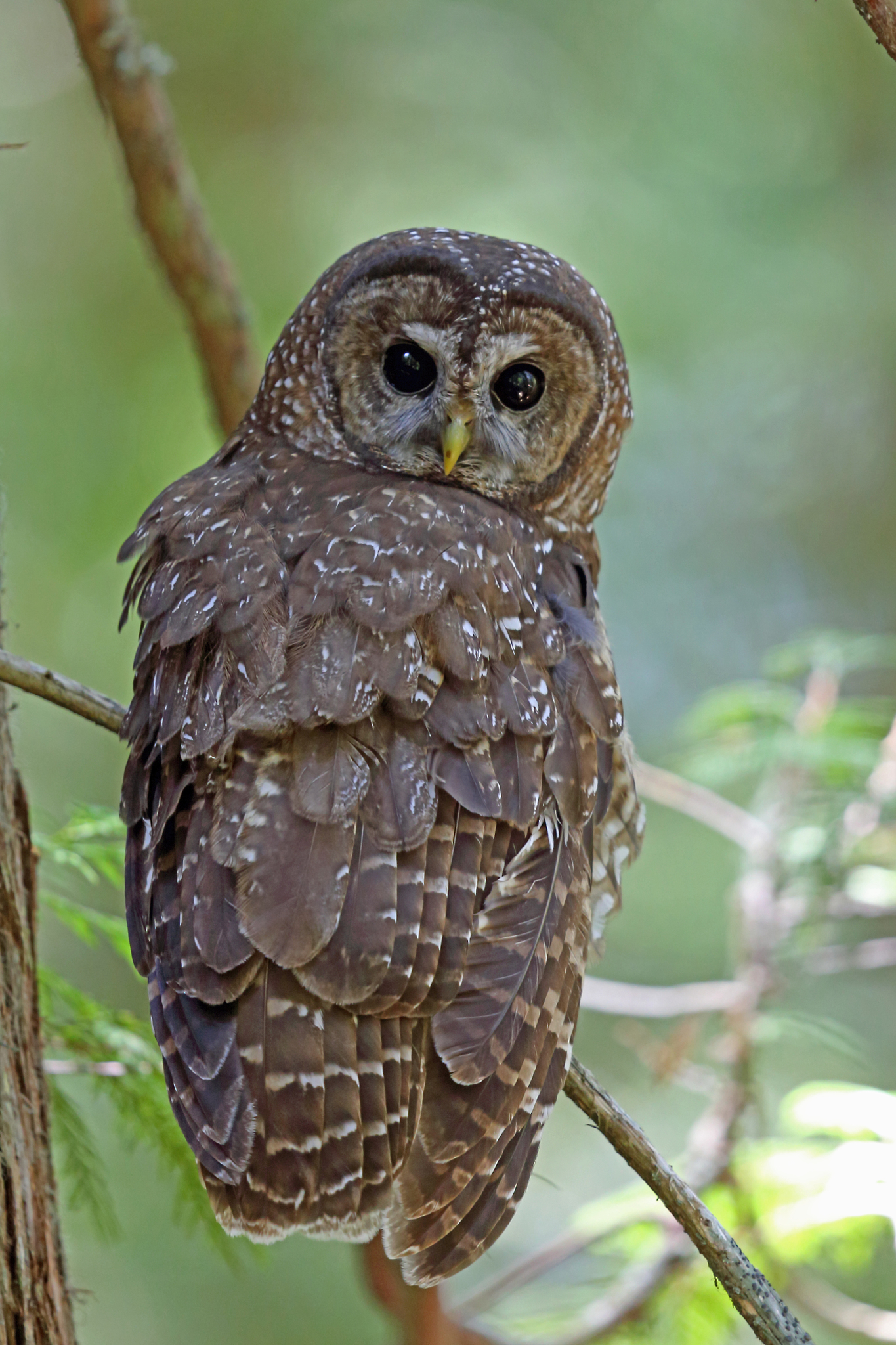 an overview of the northern spotted owl Spotted owl ~ strix occidentalis introduction the spotted owl is a medium-sized woodland owl with a round head and no ear-tufts the latin word occidentalis refers to something from the west.