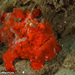 Antennarius pictus - Photo (c) Tim Cameron, todos os direitos reservados