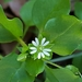Stellaria - Photo (c) Kimberlie Sasan, כל הזכויות שמורות
