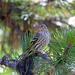 Northern Pine Siskin - Photo (c) Nigel Voaden, all rights reserved