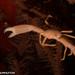 Quadrella coronata - Photo (c) Tim Cameron, todos los derechos reservados