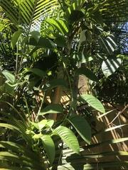 Passiflora quadrangularis image
