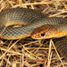 Caspian Whipsnake - Photo (c) Paolo Mazzei, all rights reserved