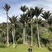 Nikau Palm - Photo (c) Jesse Lee Meyer, all rights reserved