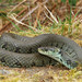 Barred Grass Snake - Photo (c) Wolfgang Wüster, all rights reserved