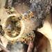 Tetragonisca angustula fiebrigi - Photo (c) Ricardo Ribeiro Cruz, todos los derechos reservados