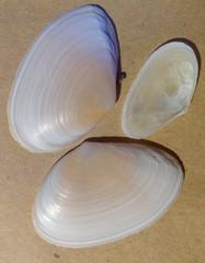 Peronaea planata image