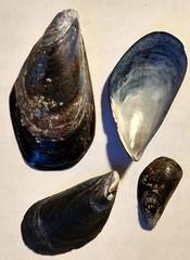 Mytilus galloprovincialis image