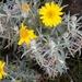 Jara Amarilla de Alta Montaña - Photo (c) Javier Smith, todos los derechos reservados