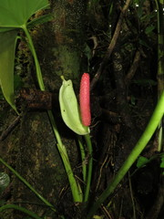 Anthurium obtusilobum image