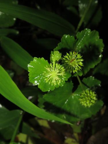 Hydrocotyle mexicana image