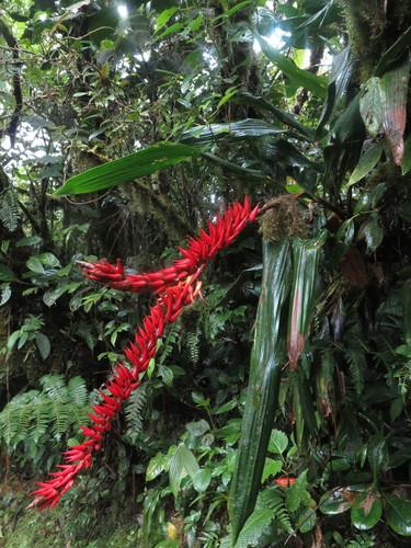 Pitcairnia brittoniana image