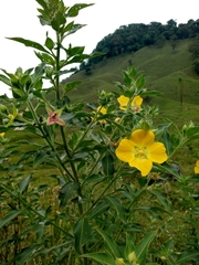 Ludwigia peruviana image