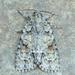 Acronicta exilis - Photo (c) Michael H. King, todos los derechos reservados, uploaded by mhking