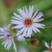 Common Michaelmas-Daisy - Photo (c) Tig, all rights reserved