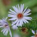 Symphyotrichum salignum - Photo (c) Tig, todos los derechos reservados