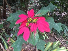 Euphorbia pulcherrima image
