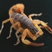 Thick-tailed Scorpions - Photo (c) Kevin Wiener, all rights reserved