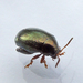 Northern Plantain Flea Beetle - Photo (c) Bill Keim, all rights reserved