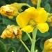 Erythrostemon mexicanus - Photo (c) Frances, כל הזכויות שמורות