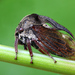 Horned Treehopper - Photo (c) Jérôme Picard, all rights reserved, uploaded by Jerome