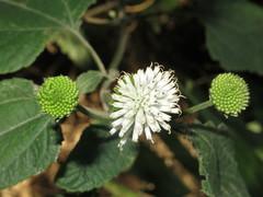 Melanthera nivea image