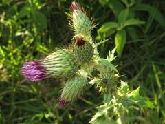 Cirsium mexicanum image