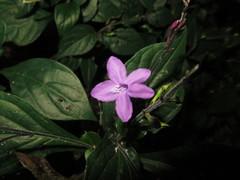 Pseuderanthemum cuspidatum image