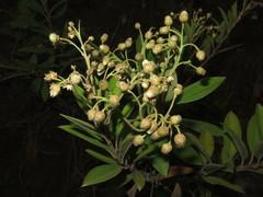 Image of Baccharis pedunculata