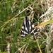 Arctia plantaginis - Photo (c) Nigel Voaden, todos los derechos reservados