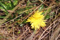 Hypochaeris taraxacoides image