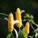 Pachystachys lutea - Photo (c) David Foster, όλα τα δικαιώματα διατηρούνται